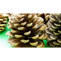 Giant Pine Cones (Pack of 5) (approx. 15cm)
